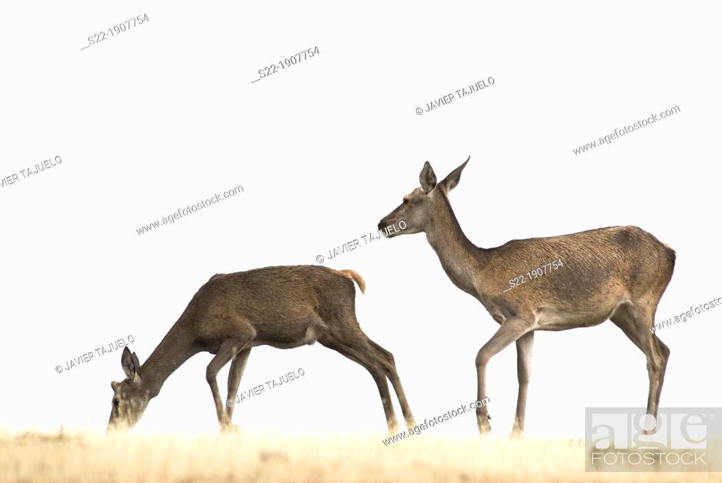 Stock Photo: Red Deer (Cervus elaphus), Cabañeros, Ciudad Real, Castilla la Mancha, Spain.