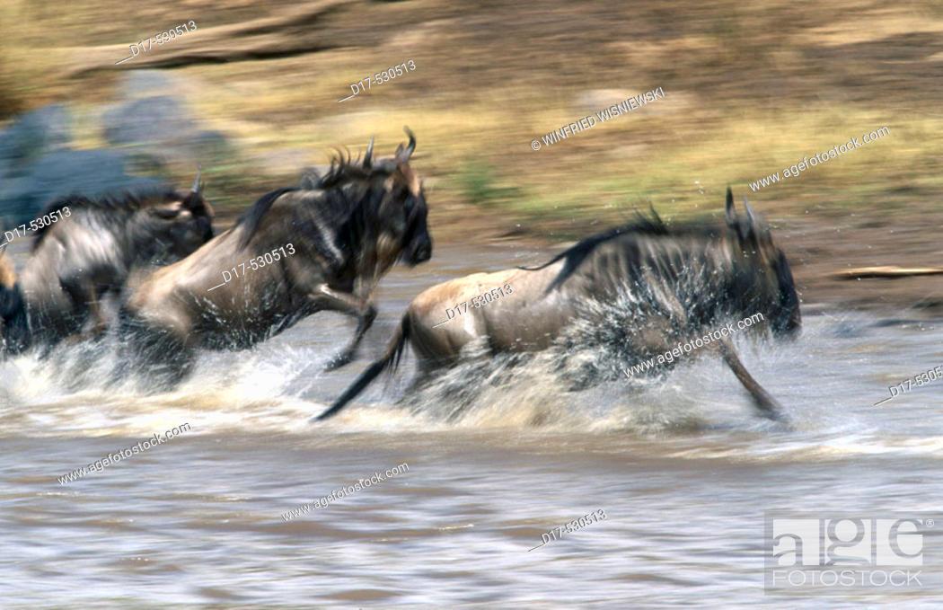 Stock Photo: Fleeing wildebeest (Connochaetes taurinus). Masai Mara Natural Reserve. Kenya.