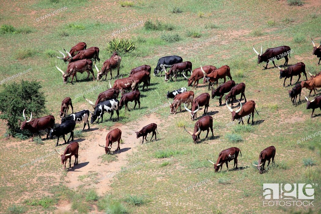 Stock Photo: Ankole longhorn cattle, Uganda, East Africa.