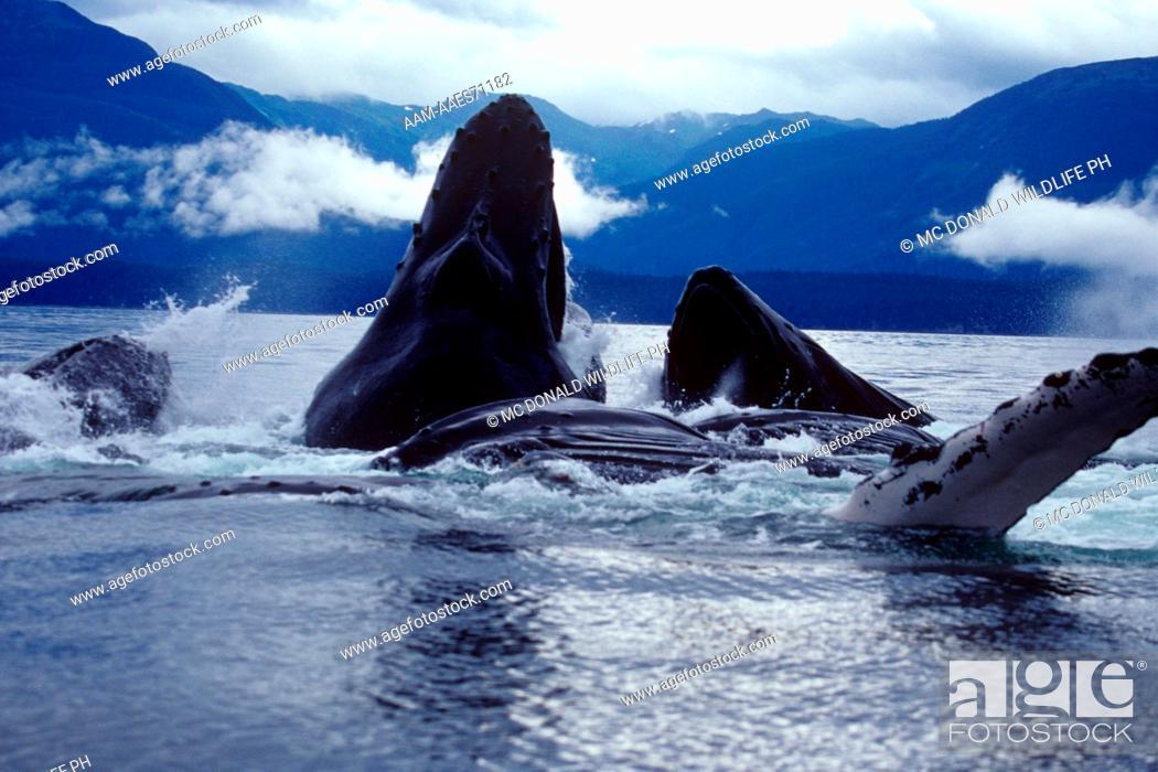 Stock Photo: Humpback Whale Bublenet Feeding (Megaptera movaeangliae), AK.