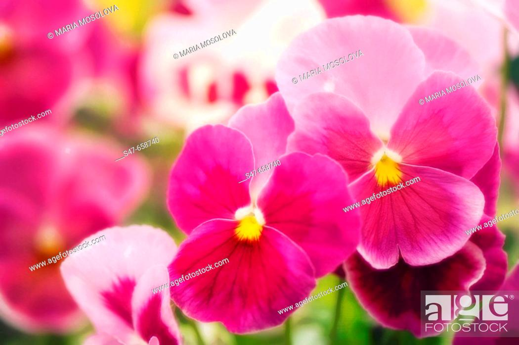 Two pink pansy flowers stock photos and images age fotostock s47 658740 mightylinksfo