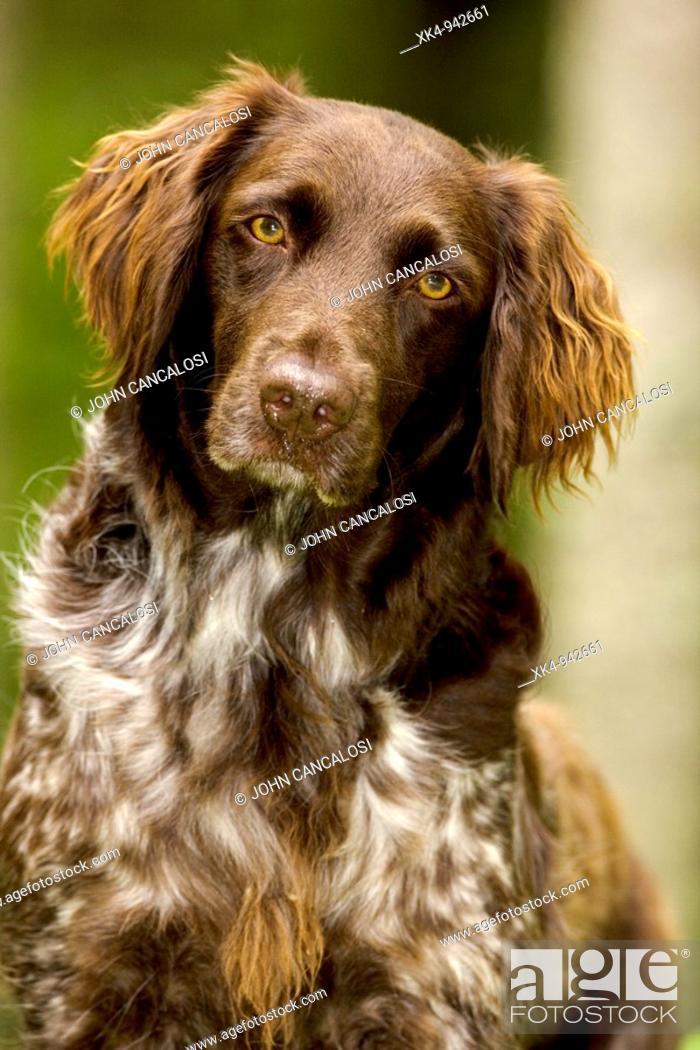 Stock Photo: Portrait of Small Munsterlander (Kleiner Munsterlander) dog, Wisconsin, USA - Breed originated in Munster Germany - Hunting dog - Pointer-retriever - Highly.