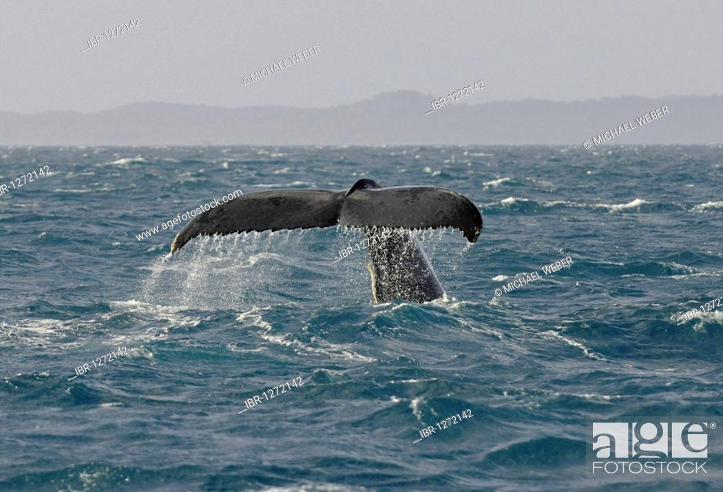 Stock Photo: Tail fin of a Humpback Whale (Megaptera novaeangliae) while diving in front of Fraser Island, Hervey Bay, Queensland, Australia.