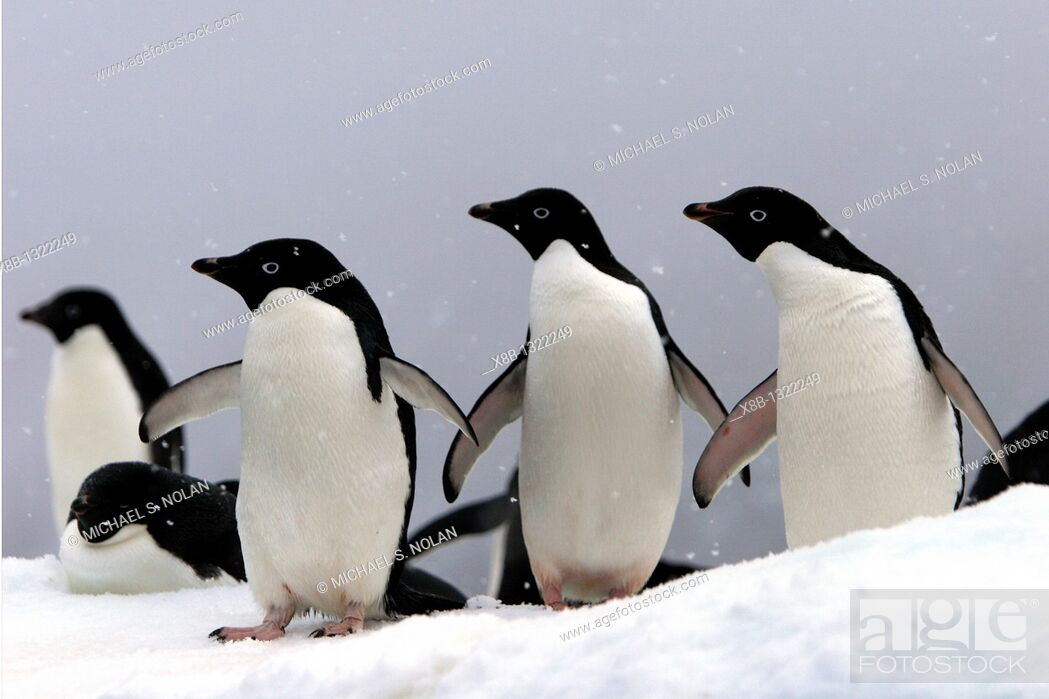 Imagen: Adelie penguins Pygoscelis adeliae hauled out on an iceberg in a snowstorm near Paulet Island, Antarctic Peninsula  Adelie penguins are truly an ice dependant.