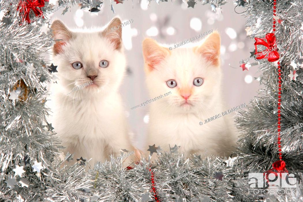 Stock Photo: British Shorthair. Two kittens surrounded by a silver garland. Germany.