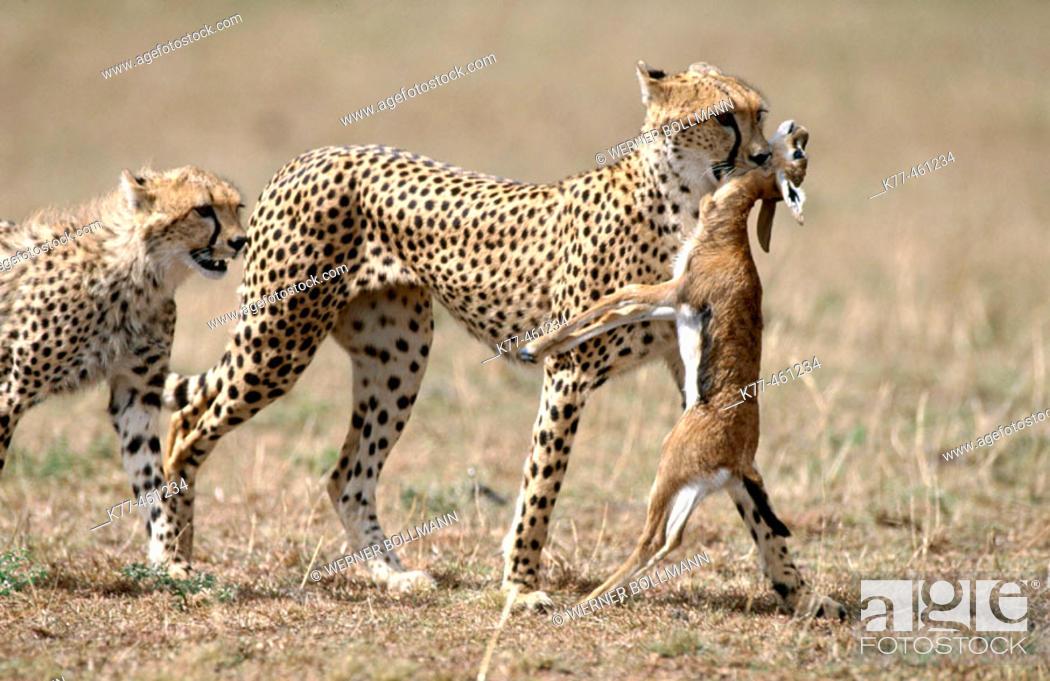 Stock Photo: Cheetah (Acinonyx jubatus), female with young and prey. Masai Mara Game Reserve. Kenya.