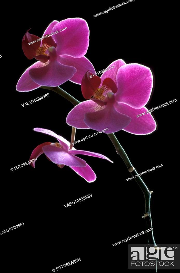 Stock Photo: black, blooms, bloom, abloom.