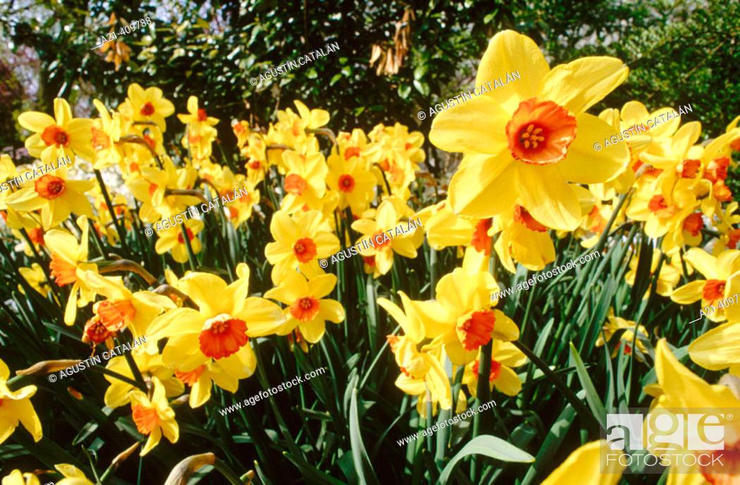 Stock Photo: Daffodils.