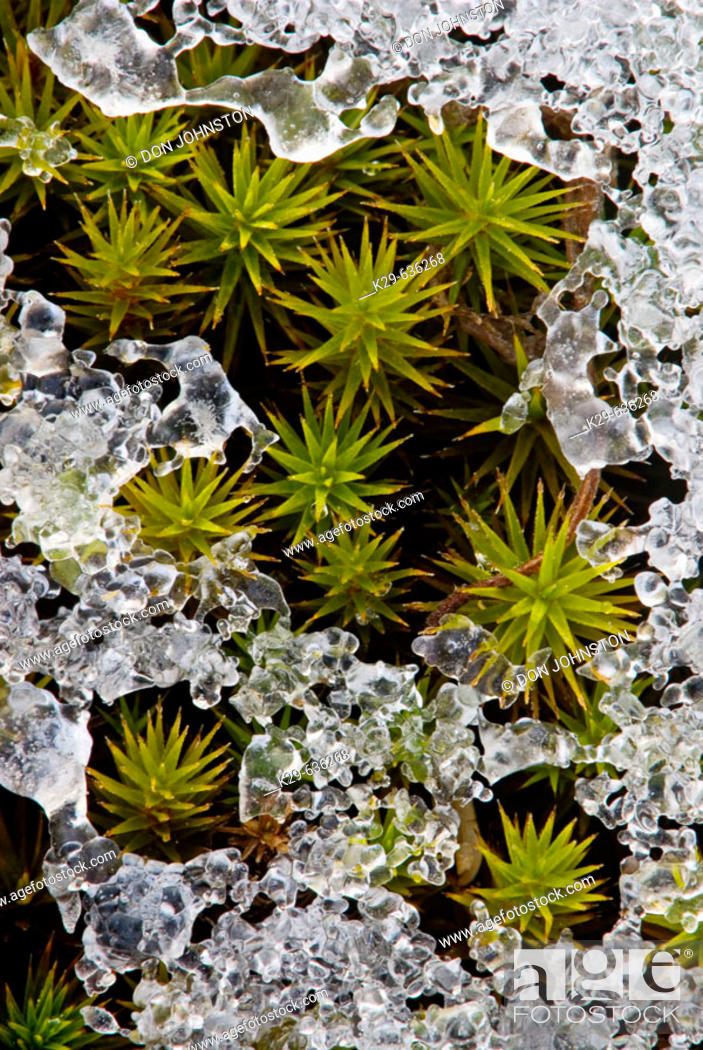 Stock Photo: Hair Cap Moss (Polytrichium Commune) with crust of early winter snow.