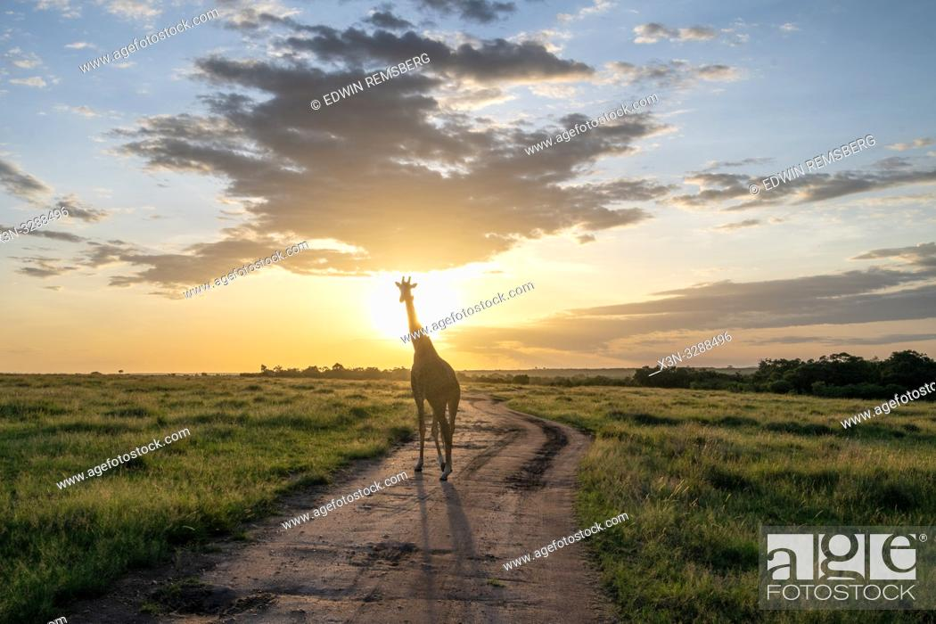 Stock Photo: Masai giraffe (Giraffa camelopardalis tippelskirchii) in a field with sun behind it in Maasai Mara National Reserve, Kenya.