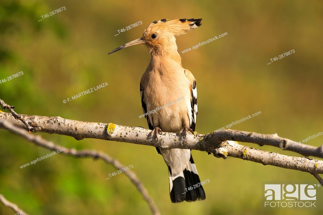 Stock Photo: Hoopoe (Upupa epops). Photographed in the Regional Park around the Guadarrama River Madrid.