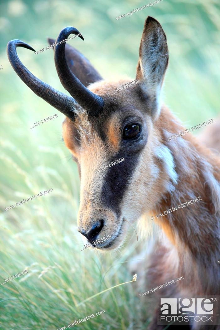 Stock Photo: Chamois (Rupicapra rupicapra) in the Gran Paradiso National Park. Italy.