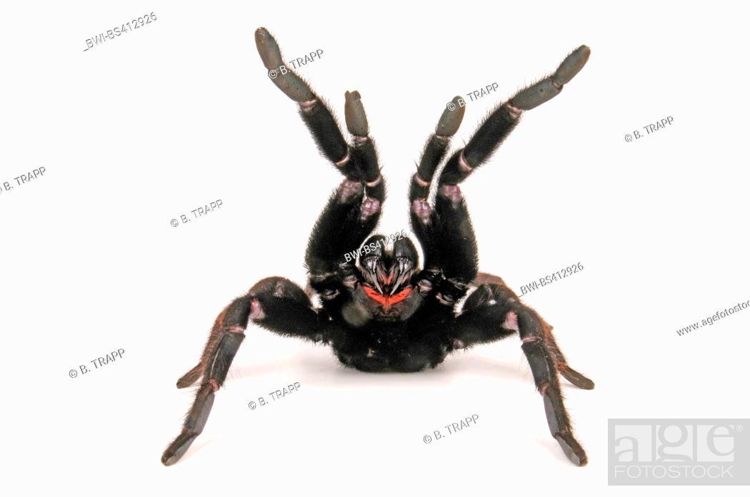 Stock Photo: Indian violet tarantula (Chilobrachys fimbriatus), in defense posture, cut-out.