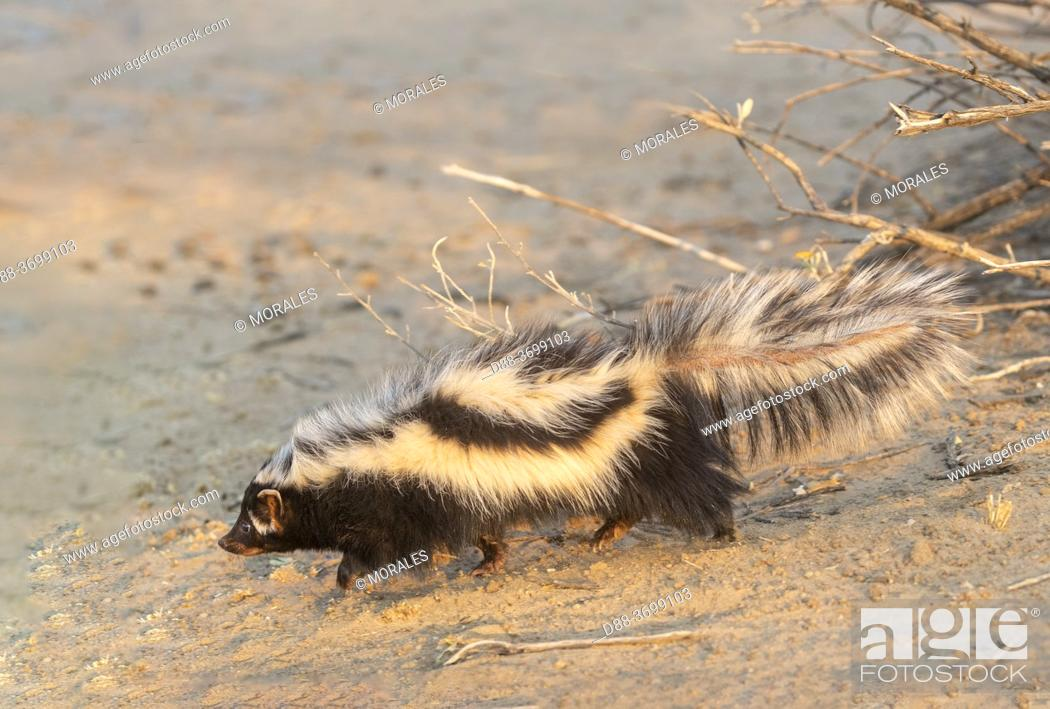 Photo de stock: Africa, Namibia, Private reserve, Striped polecat or African Polecat (Ictonyx striatus) , captive.