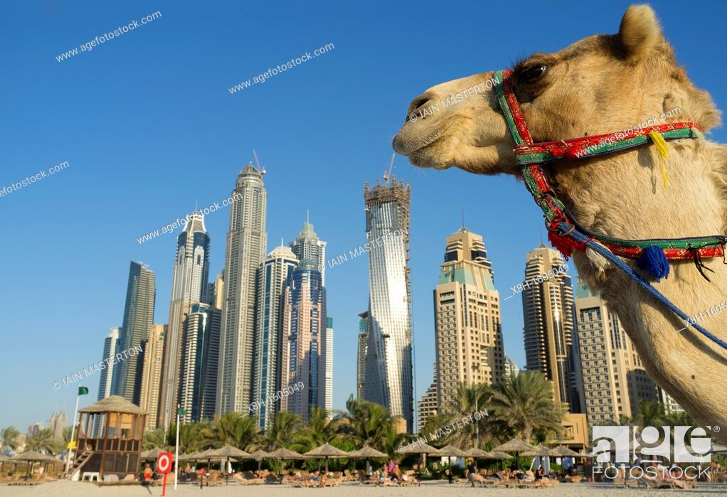 Stock Photo: Camel on beach at Jumeirah with new high-rise buildings in New Dubai in United Arab Emirates.