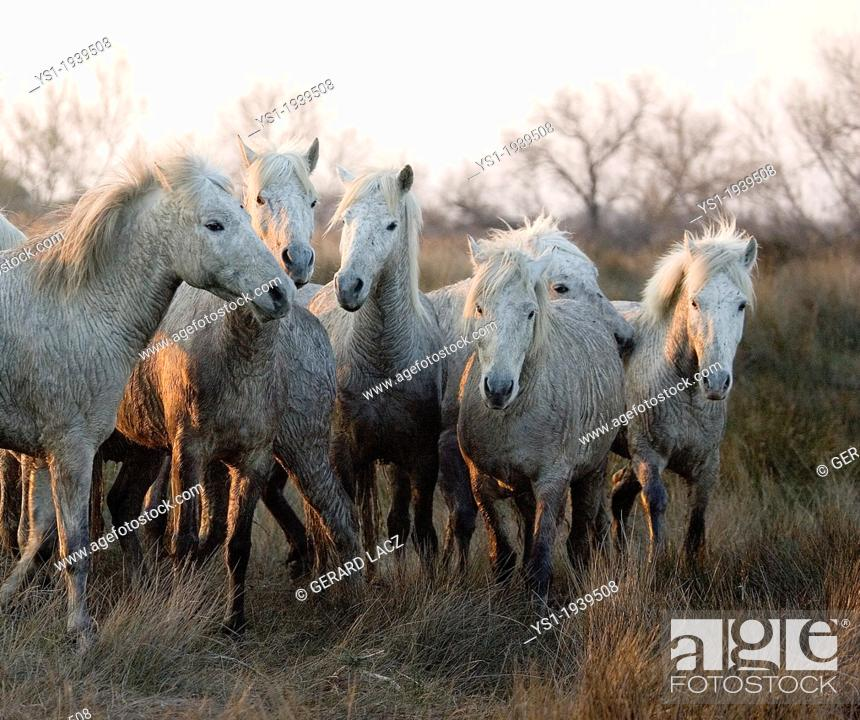 Stock Photo: Camargue Horse, Herd standing in Swamp, Camargue in the South of France.