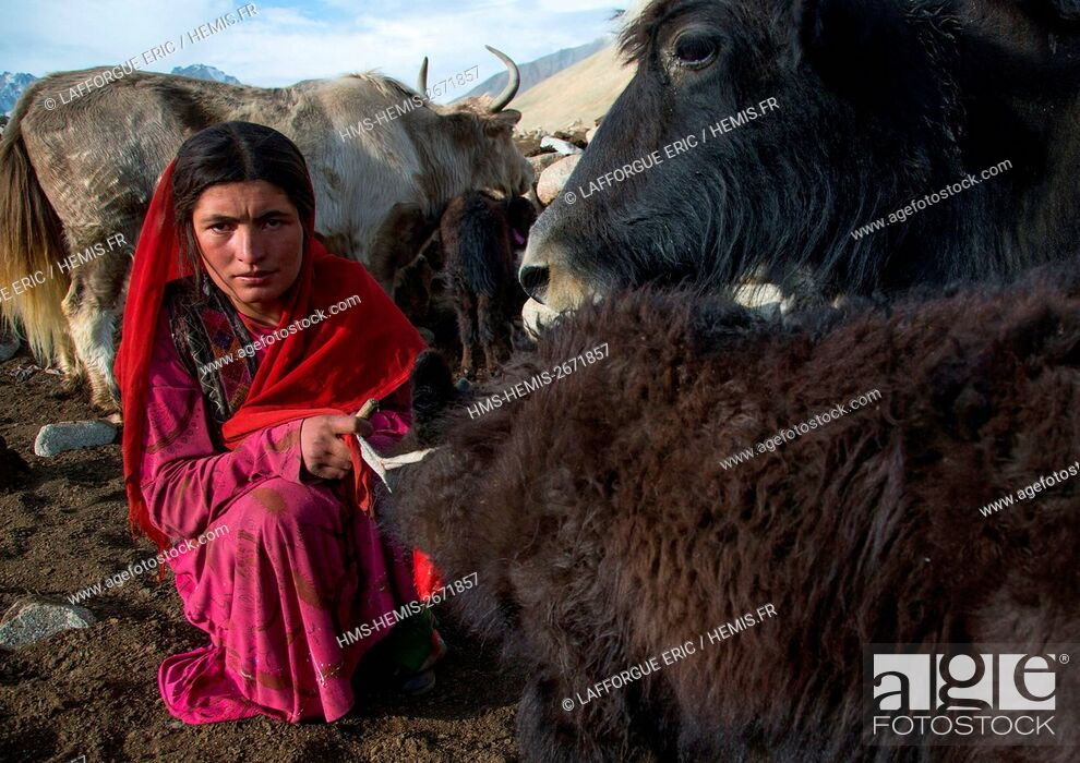 Stock Photo: Afghanistan, Big Pamir, Wakhan, wakhi nomad woman milking a yak.