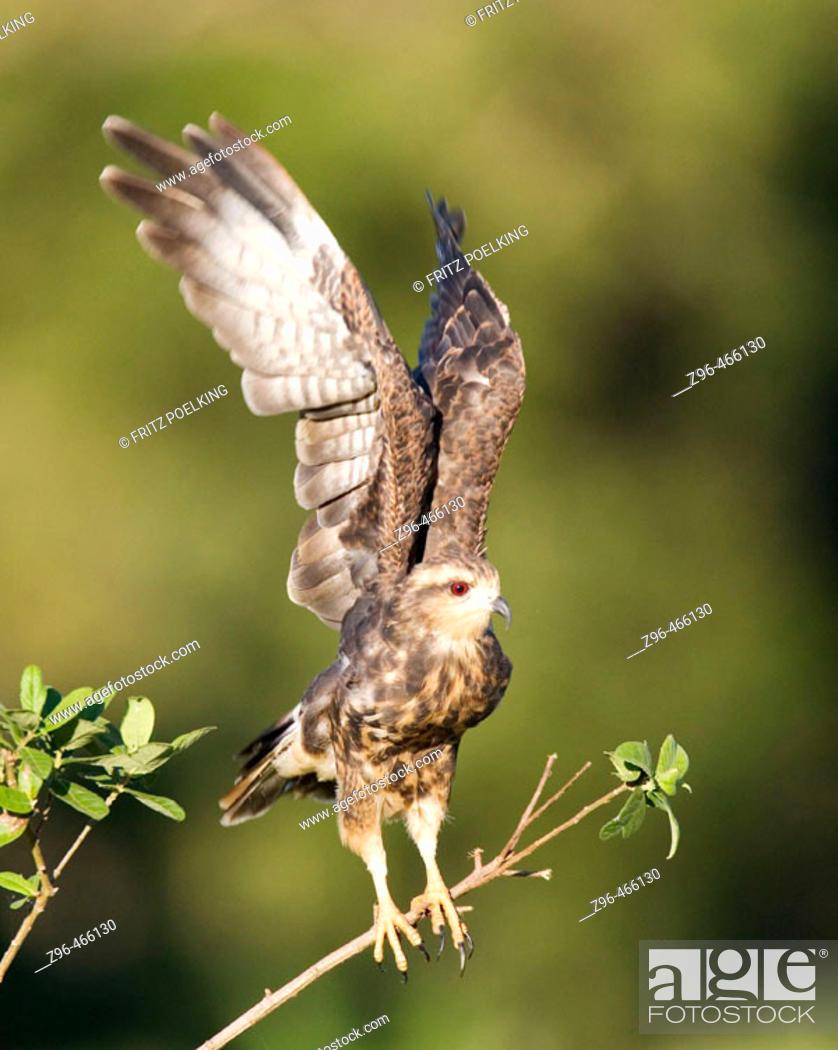 Stock Photo: Snail kite (Rostrhamus sociabilis). Pantanal, the world largest wetland, Brazil, South America.