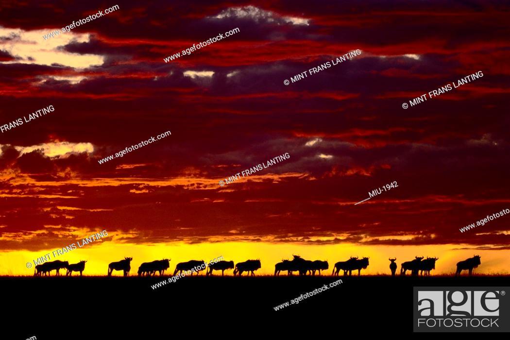 Stock Photo: Wildebeests at dawn, Connochaetes taurinus, Masai Mara Reserve, Kenya.