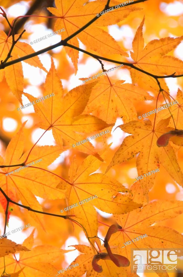 Stock Photo: Japanese maple leaves, Lithia Park, Ashland, OR.