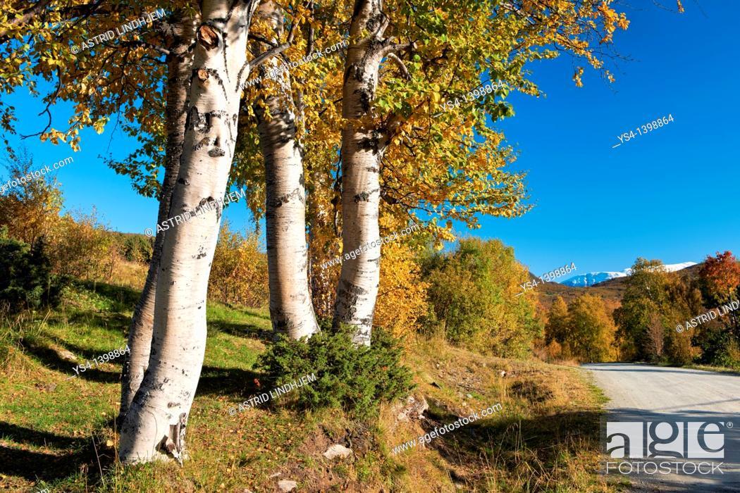 Stock Photo: Trees in fall colors Trollheimen Norway.
