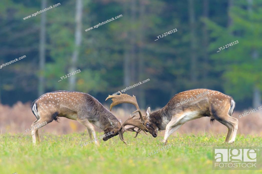 Stock Photo: Fighting Fallow Deers (Cervus dama) at Rutting Season, Hesse, Germany, Europe.