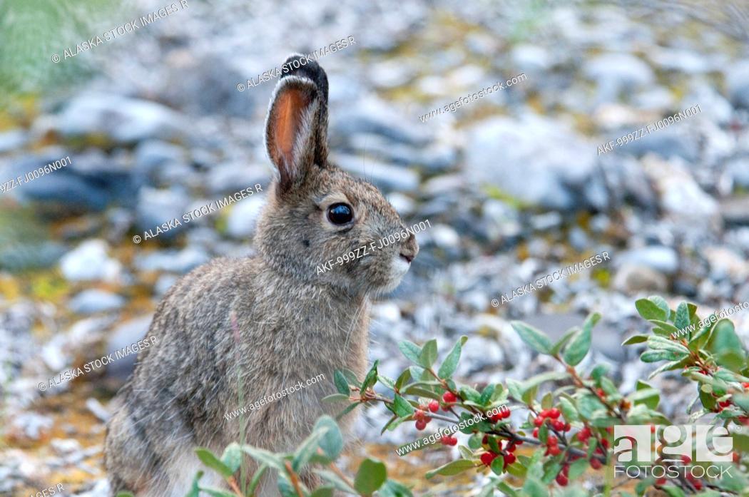 Stock Photo: Snowshoe Hare sitting near Soapberry bush along the Marsh Fork of the Canning River in the Brooks Range, Arctic National Wildlife Refuge, Alaska, Summer.
