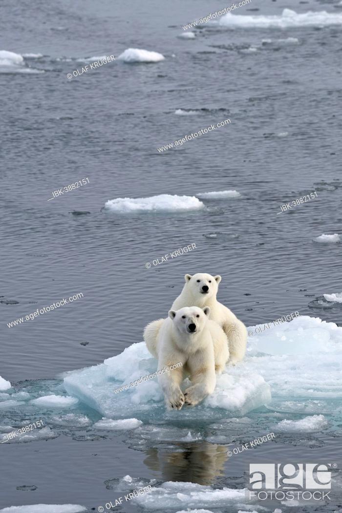 Photo de stock: Polar Bears (Ursus maritimus), female and juvenile on an ice floe in the pack ice, Spitsbergen Island, Svalbard Archipeligo, Svalbard and Jan Mayen, Norway.
