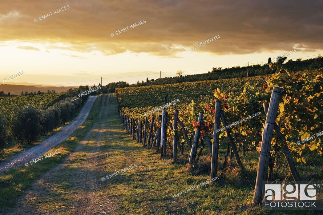 Photo de stock: Road Through Vineyard.