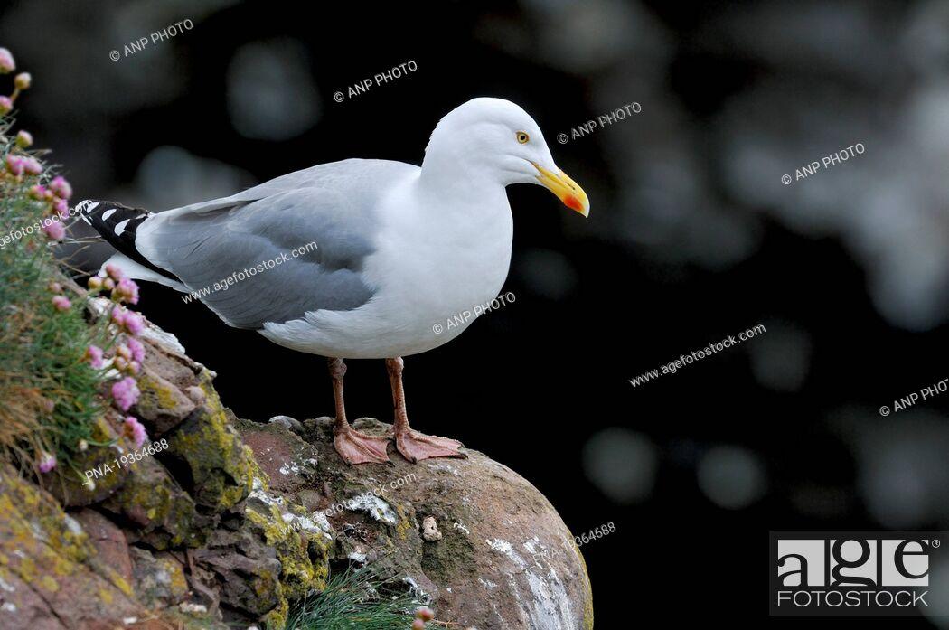 Imagen: Herring Gull Larus argentatus - Fowlsheugh Nature Reserve, Kincardineshire, Scotland, Great Britain, Europe.