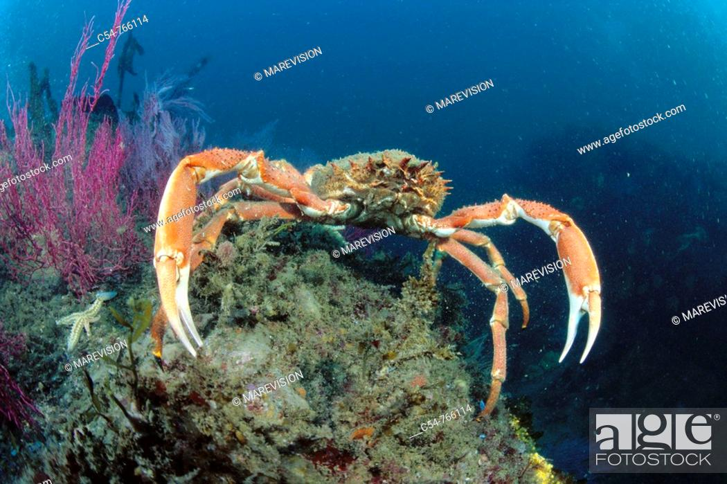 Stock Photo: Eastern Atlantic Galicia Spain Great spider crab Maja squinado.