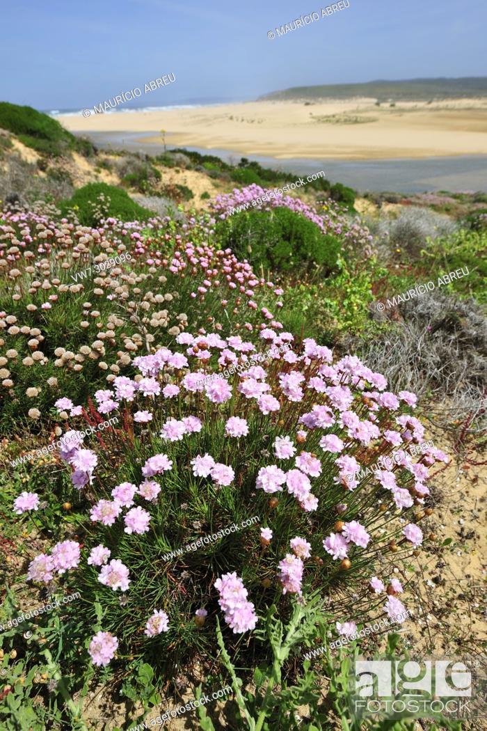 Stock Photo: Armeria pungens in Spring, at Bordeira beach. Algarve, Portugal.
