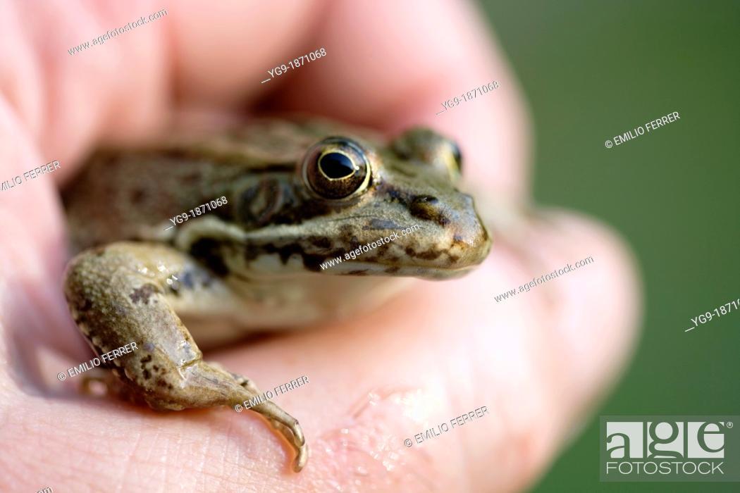 Stock Photo: Frog  Rana ridibunda.