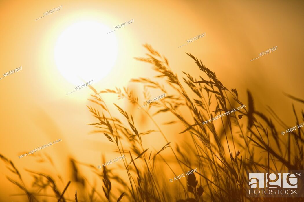 Stock Photo: shaked grass in front of sunset.