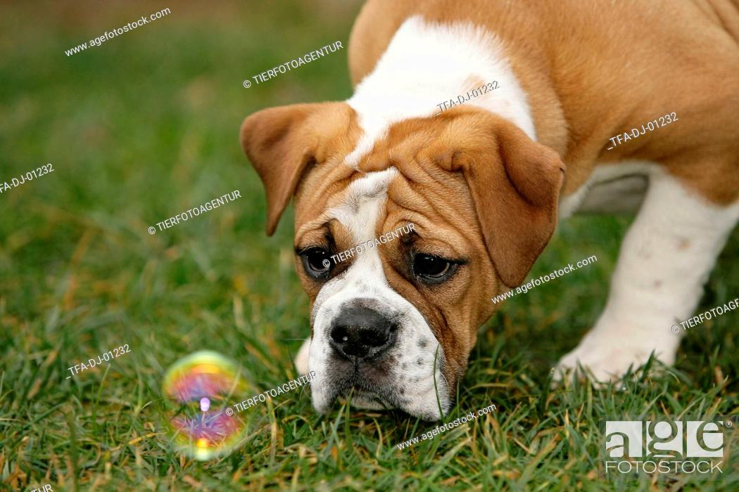 Continental Bulldog Puppy Stock Photo Picture And Rights Managed Image Pic Tfa Dj 01232 Agefotostock