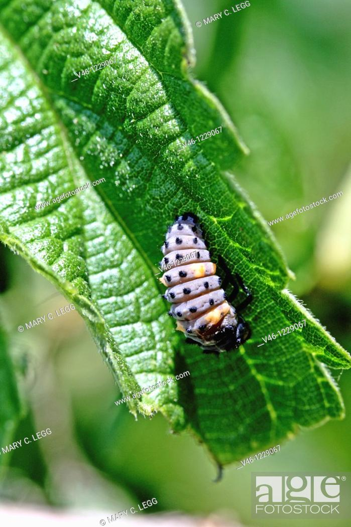 Seven-spotted Ladybird Beetle, coccinella septempunctata larvae on