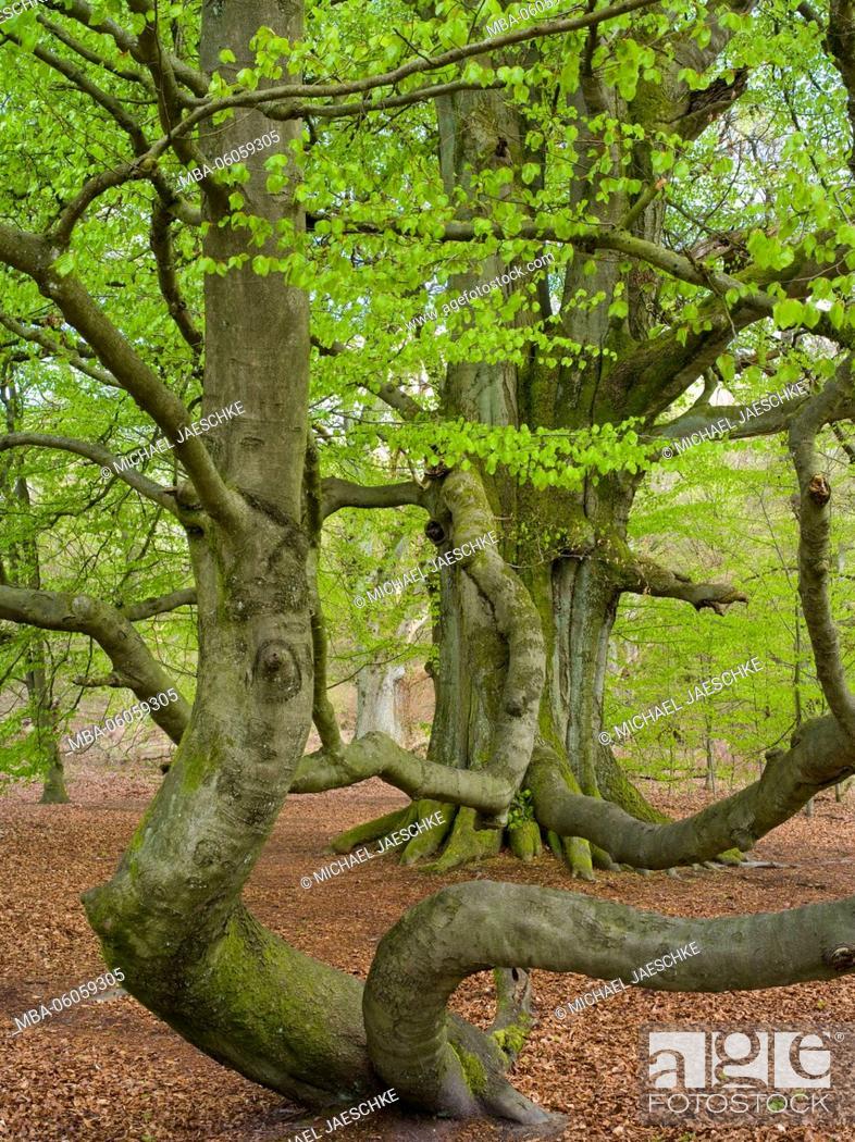 Stock Photo: Schlangenbuche' beech in the spring, 'Urwald Sababurg'.