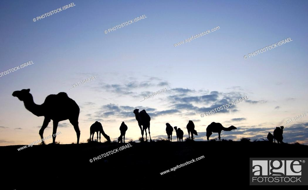 Stock Photo: Israel, Negev desert, A silhouette of a herd of camels at dusk.