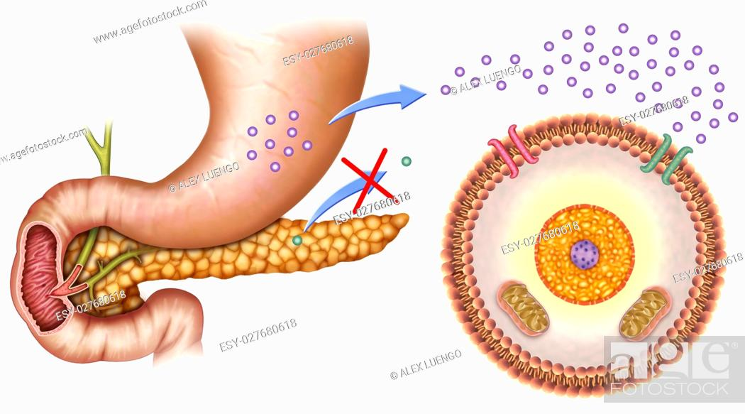 Stock Photo: schematic illustration of the pancreas and stomach with normal levels of insulin and glucose in the blood.