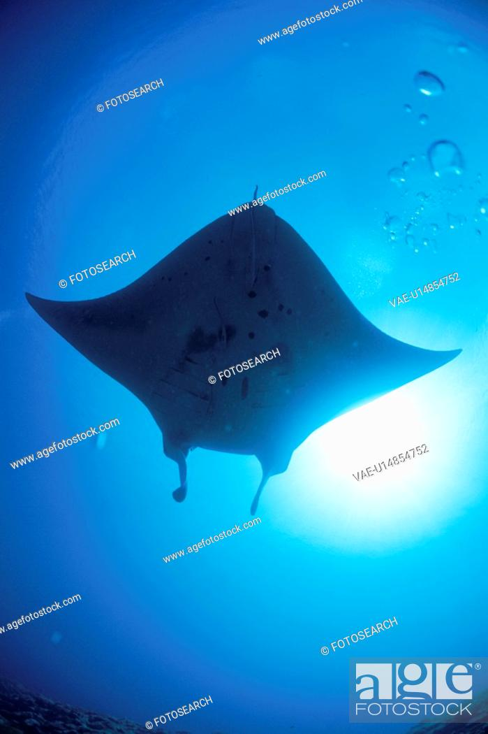 Stock Photo: Giant Manta Rays.