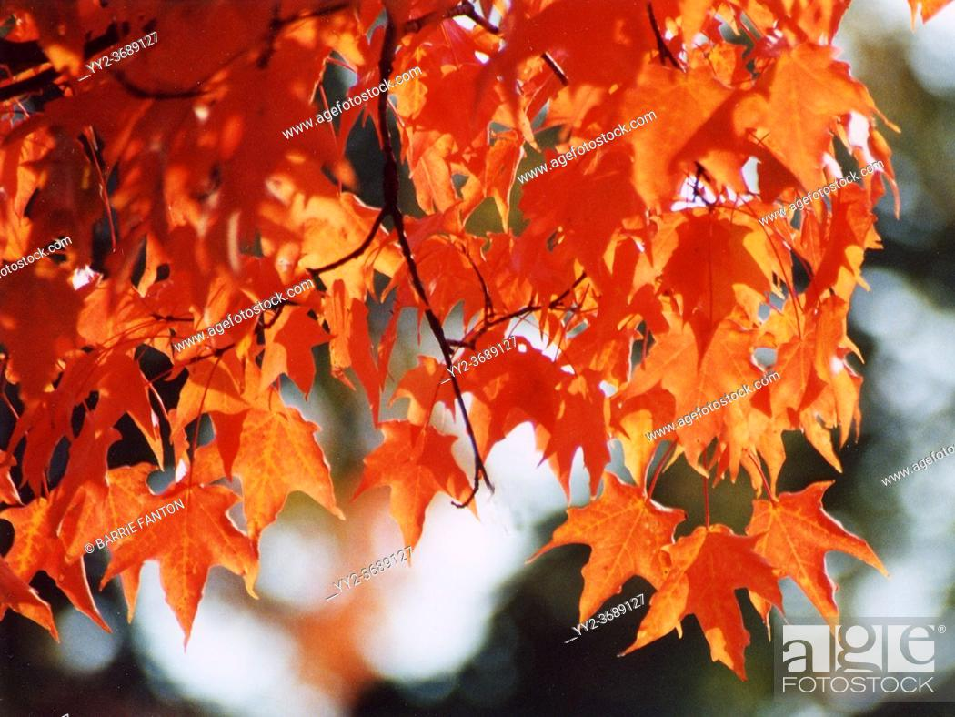 Imagen: Maple Tree Autumn Leaves, Wellsville, New York, USA.