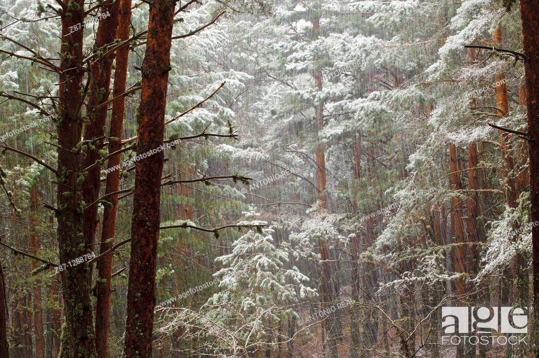 Stock Photo: Snowstorm, Orea Forest, Parque Natural del Alto Tajo, Guadalajara province, Spain.