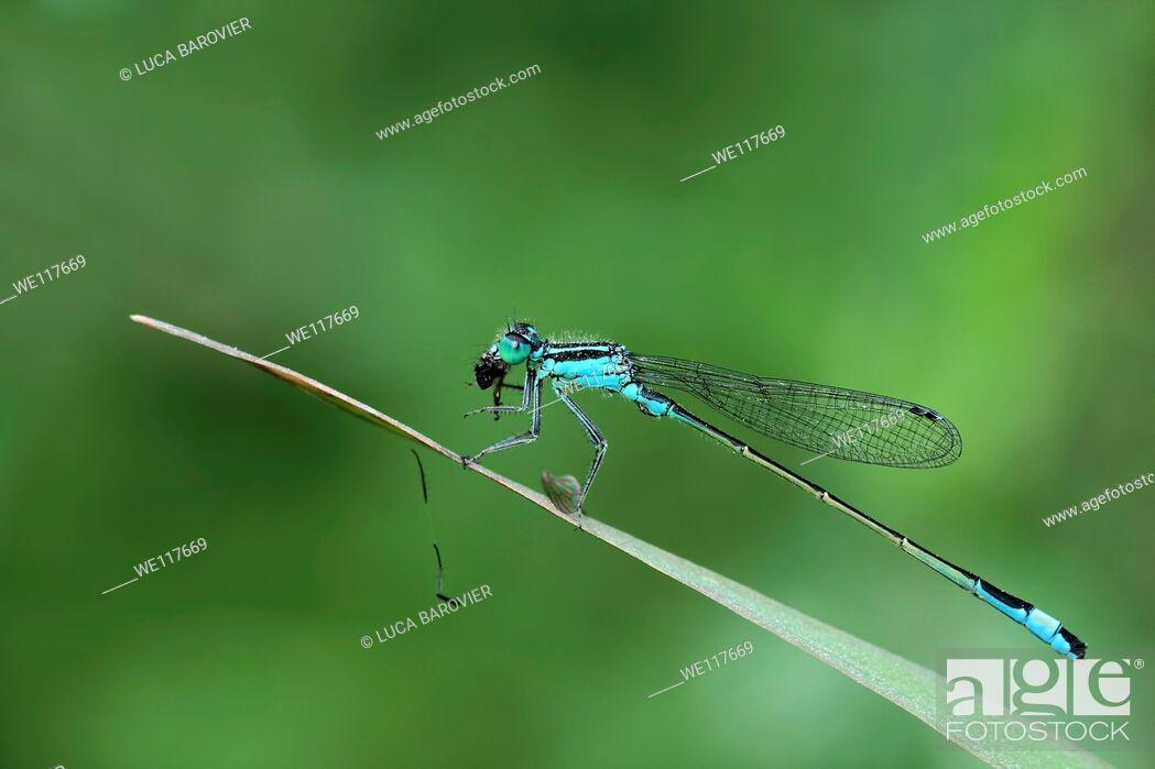 Stock Photo: Ischnura elegans - Blue tailed damselfly eating.