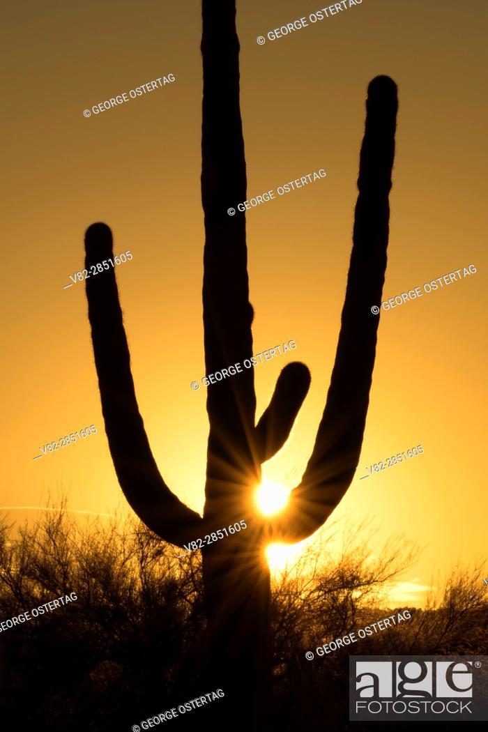 Stock Photo: Saguaro sunrise, Ironwood Forest National Monument, Arizona.