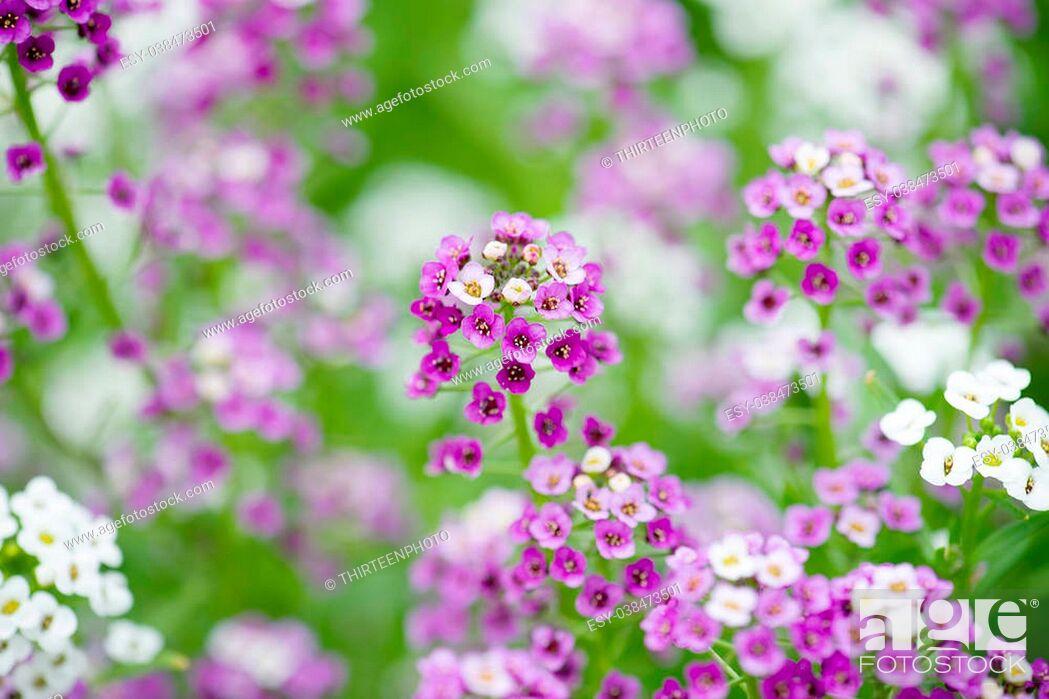 Stock Photo: Alyssum Flowers.