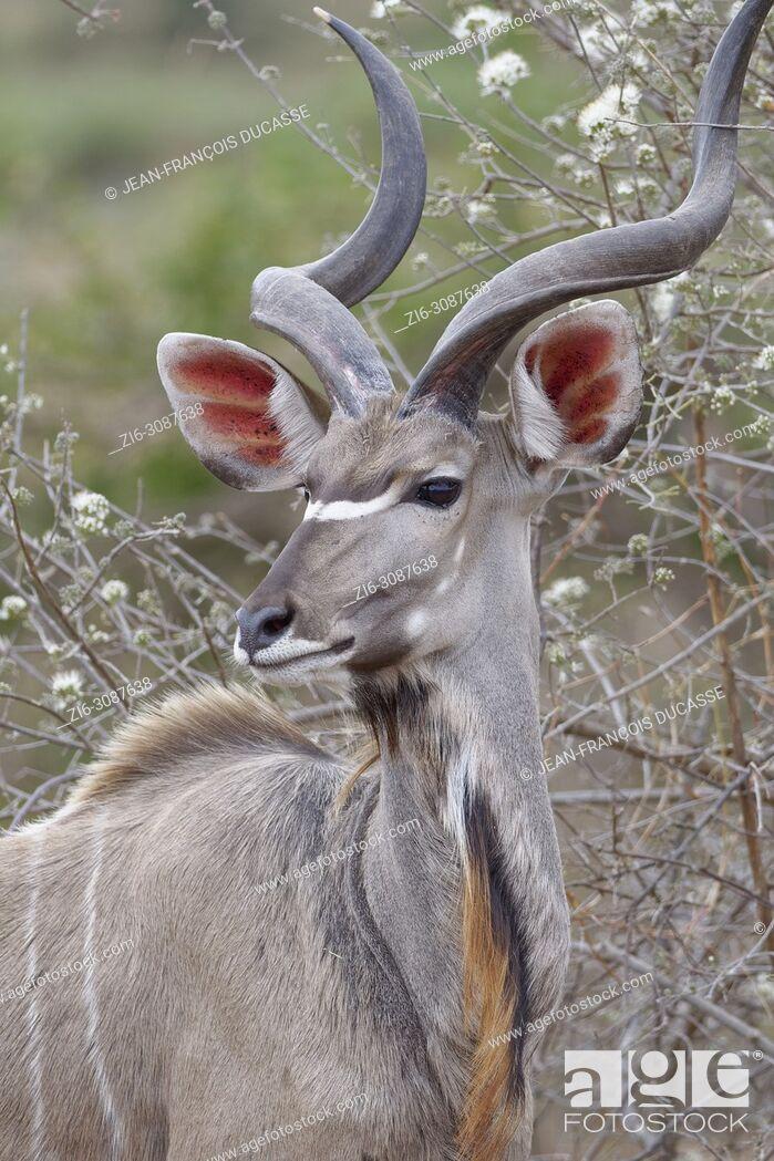 Stock Photo: Greater kudu (Tragelaphus strepsiceros), adult male, alert, Kruger National Park, South Africa, Africa.