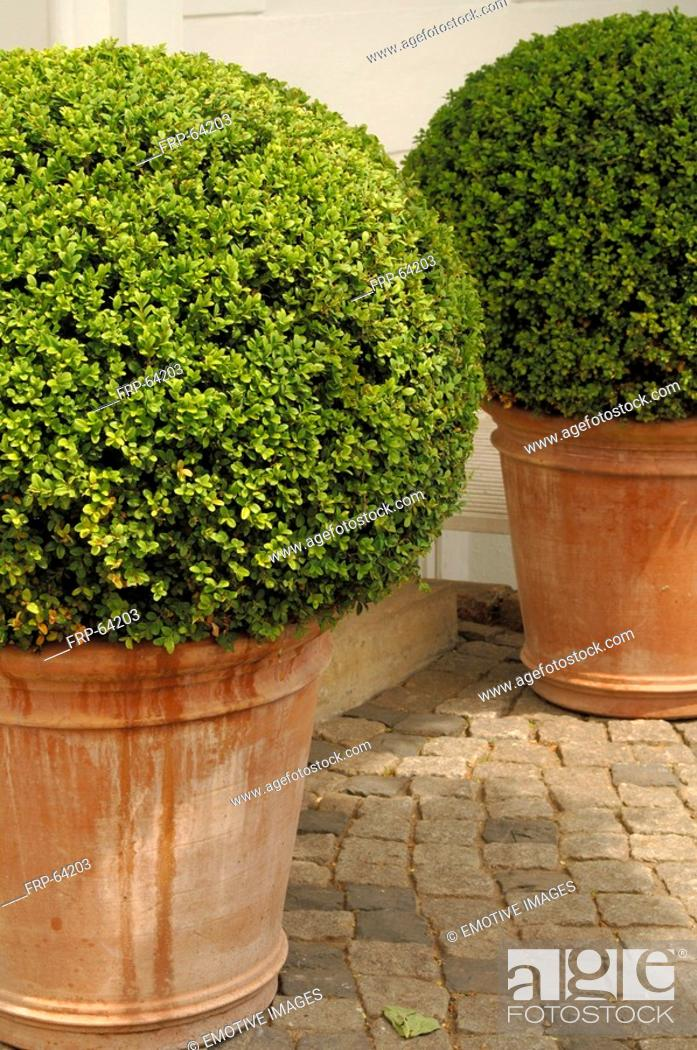 Stock Photo: Boxwood in flower tubs.