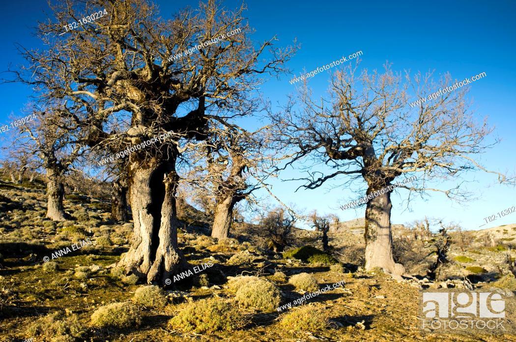 Stock Photo: Spanish Fir forest in autumn, Sierra de las Nieves, Malaga, Andalucia, Spain.