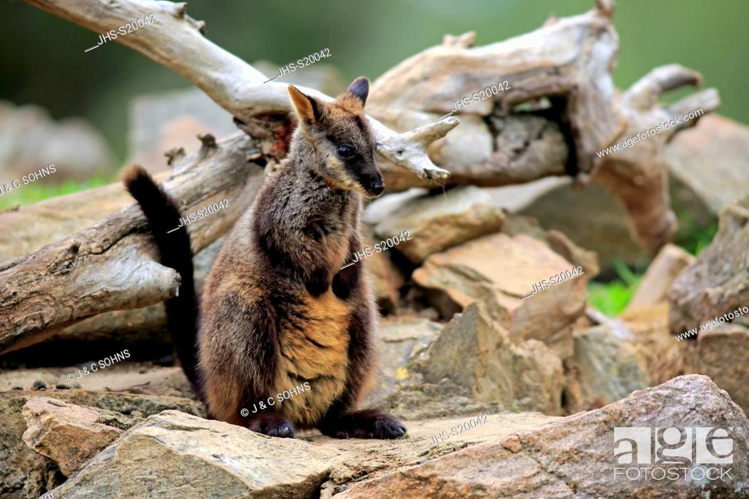 Stock Photo: Brush-tailed rock-wallaby, (Petrogale penicillata), adult on rock, New South Wales, Australia.
