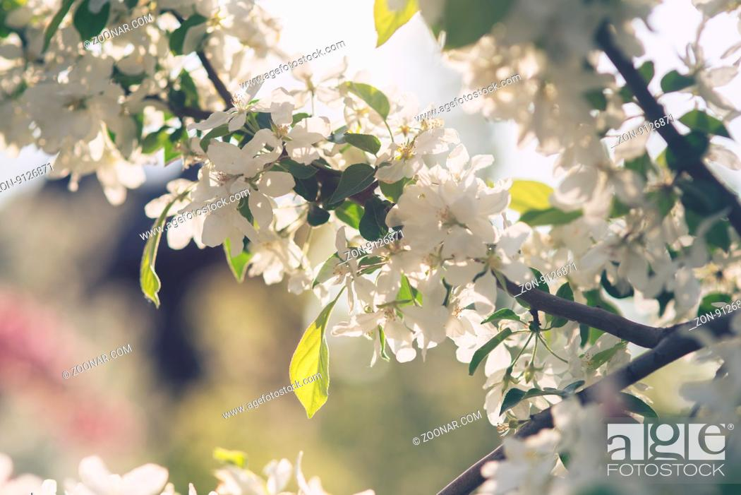 Stock Photo: apple tree flower blossom in garden with sun rays and bokeh.